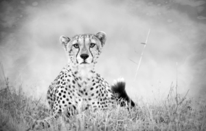 Cheetah High Definition Wallpapers