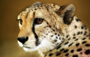 Cheetah High Quality Wallpapers