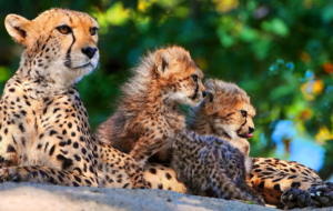 Cheetah Full HD