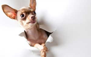 Chihuahua Images