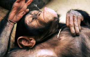 Chimpanzee HD Wallpaper