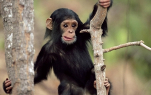 Chimpanzee High Quality Wallpapers
