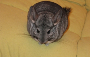 Chinchilla Deskto