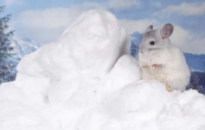 Chinchilla Widescreen