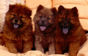 Chow Chow HD Background