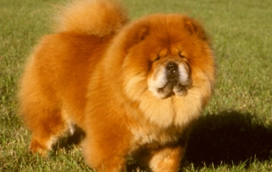 Chow Chow Photos