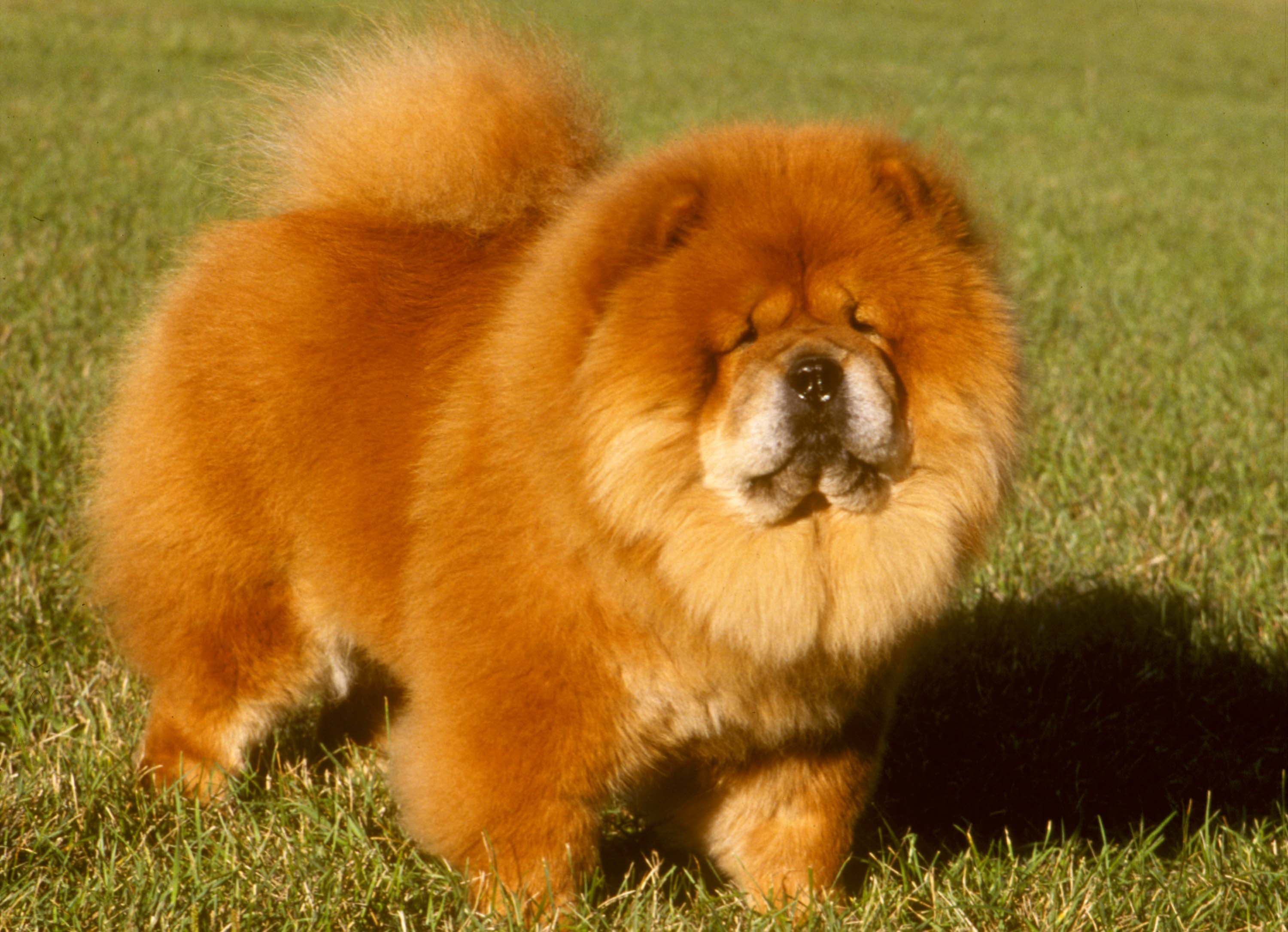 Make Dog Look Like Lion