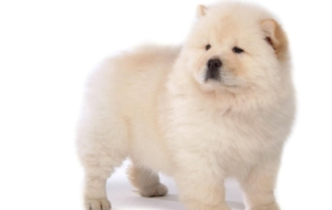 Chow Chow Widescreen