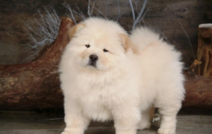 Chow Chow Full HD
