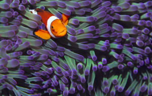 Clown Fish Computer Wallpaper