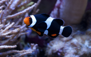 Clown Fish Deskto