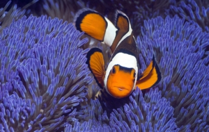 Clown Fish HD Deskto