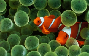 Clown Fish High Definition Wallpapers