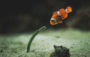 Clown Fish High Quality Wallpapers
