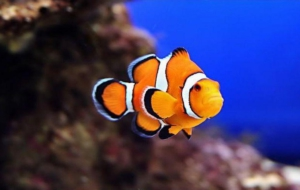 Clown Fish Images