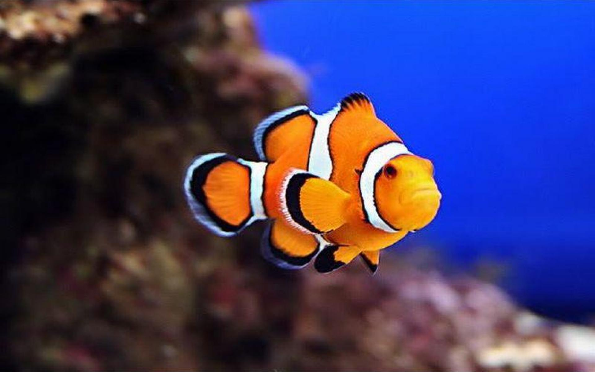 Clown fish hd wallpapers for Blue clown fish