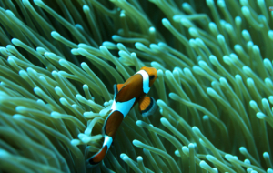 Clown Fish Photos