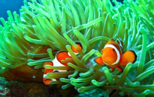 Clown Fish For Deskto