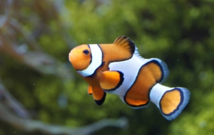 Clown Fish Full HD