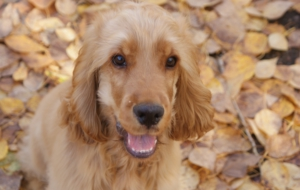 Clumber Spaniel High Definition Wallpapers