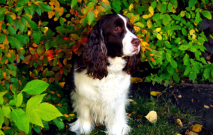 Clumber Spaniel High Quality Wallpapers