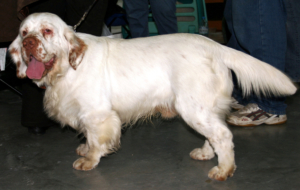 Clumber Spaniel Pictures