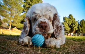 Clumber Spaniel Wallpapers