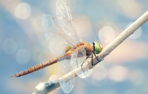 Dragonfly Widescreen