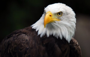 Eagle Background