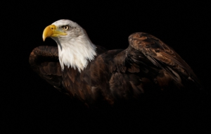 Eagle HD Background