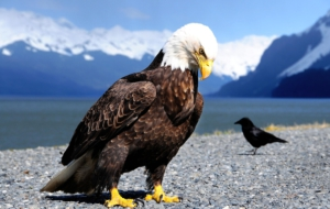 Eagle High Quality Wallpapers