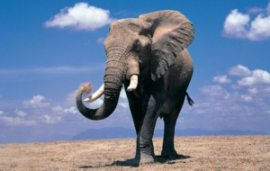 Elephant High Quality Wallpapers