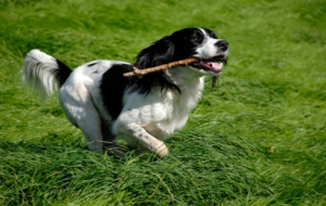 English Springer Spaniel Background