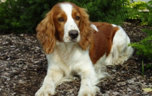 English Springer Spaniel Deskto