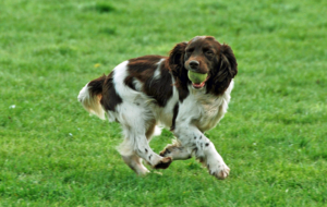 English Springer Spaniel HD