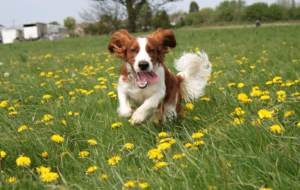 English Springer Spaniel HD Background