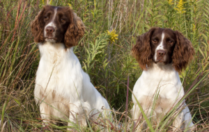 English Springer Spaniel HD Deskto