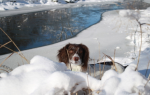 English Springer Spaniel HD Wallpaper