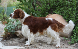 English Springer Spaniel High Quality Wallpapers