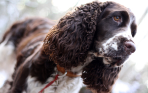 English Springer Spaniel Images