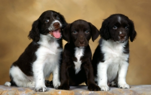 English Springer Spaniel Pictures