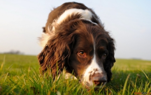 English Springer Spaniel Wallpapers HD