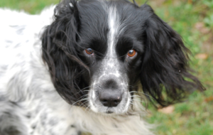 English Springer Spaniel For Deskto