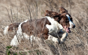 English Springer Spaniel Full HD