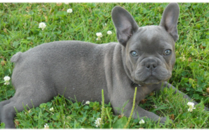 French Bulldog Deskto