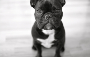 French Bulldog HD Background