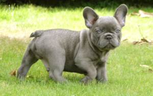 French Bulldog HD Deskto
