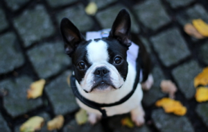 French Bulldog High Definition