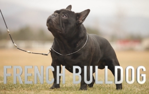 French Bulldog High Definition Wallpapers