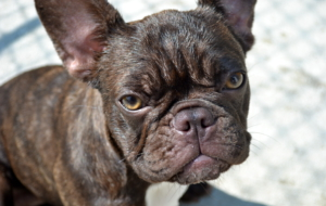 French Bulldog Images